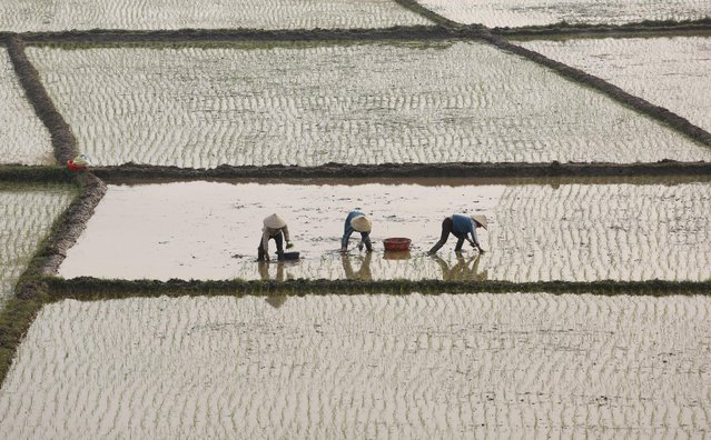 Farmers plant rice on a paddy in Vietnam's northern Phu Tho province, outside Hanoi, February 21, 2016. (Photo by Reuters/Kham)
