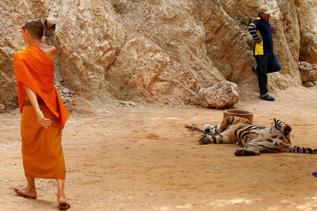 A Buddhist monk walks past a tiger before officials start moving them from Thailand's controversial Tiger Temple, a popular tourist destination which has come under fire in recent years over the welfare of its big cats in Kanchanaburi province, west of Bangkok, Thailand, May 30, 2016. (Photo by Chaiwat Subprasom/Reuters)