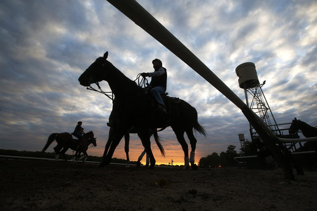 Horses are seen in silhouette making their way to the track for morning workouts at Belmont Park in Elmont, New York May 21, 2014. The Belmont Stakes will be host to California Chrome as he competes for the coveted triple crown at Belmont Park on June 7, 2014. (Photo by Shannon Stapleton/Reuters)