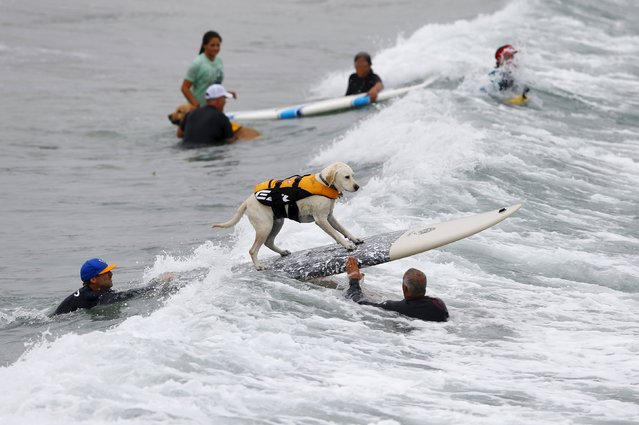 Large dogs compete in the 10th annual Petco Unleashed surfing dog contest at Imperial Beach, California August 1, 2015. (Photo by Mike Blake/Reuters)