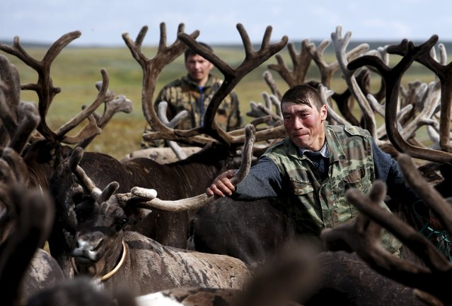 Herders are seen amidst antlers while working with reindeer at a camping ground, some 200 km (124 miles) northeast of Naryan-Mar, the administrative centre of Nenets Autonomous Area, far northern Russia, August 2, 2015. (Photo by Sergei Karpukhin/Reuters)