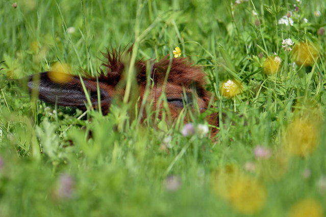 An alpaca sleeps in wild flower covered grassland at Alpaca-Land farm in Unken in the Austrian province of Salzburg, Sunday July, 6, 2014. The annual shearing makes the animals more comfortable for the summer months. (Photo by Kerstin Joensson/AP Photo)