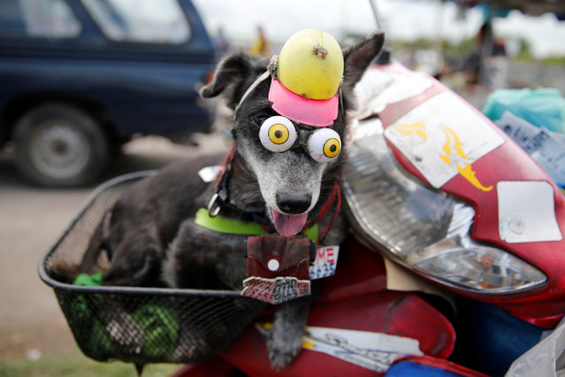 A dog wears fake eyes while riding a motorcycle in Samut Sakhon, Thailand June 23, 2016. (Photo by Jorge Silva/Reuters)