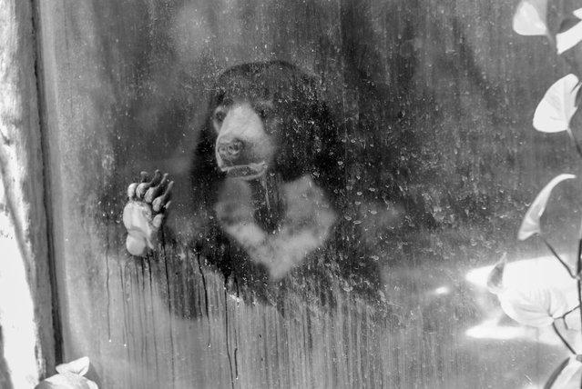 Malayan sun bear, Thailand, 2008. (Photo by Jo-Anne McArthur/Born Free Foundation/The Guardian)