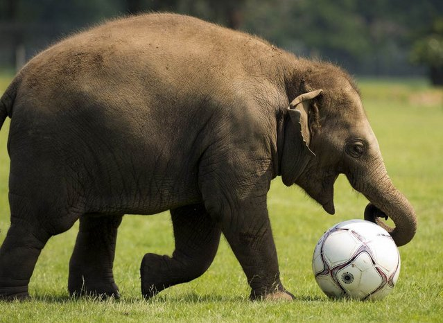 Donna, a two-year-old elephant, plays with a giant soccer ball at Whipsnade Zoo in England on May 28, 2012