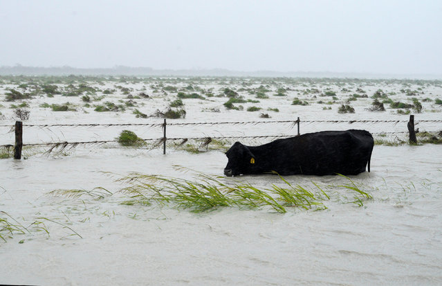 A cow struggles to keep its head above floodwaters near Fulton on August 26, 2017. (Photo by Rick Wilking/Reuters)