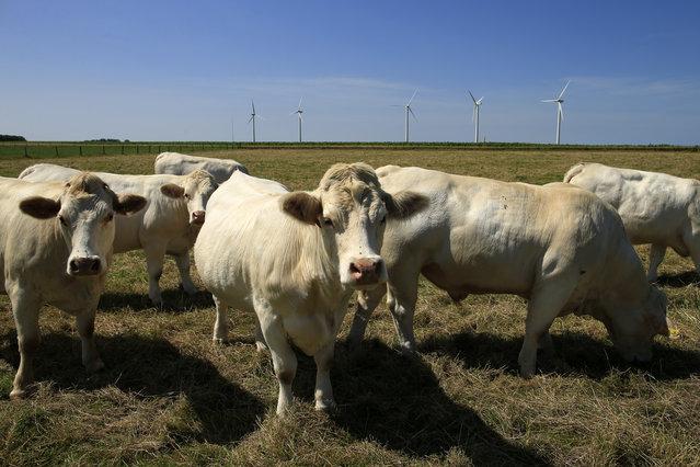 Cattle graze in a field near wind turbines in Meneslies, France July 17, 2014. (Photo by Benoit Tessier/Reuters)