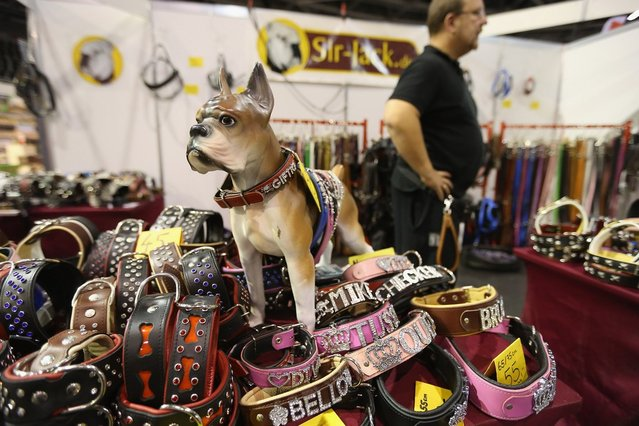 An exhibitor shows sells dog collars and leashes at the pet trade fair (Heimtiermesse) at Velodrom on November 2, 2012 in Berlin, Germany. Exhibitors are showing the latest trends in collars, snacks and other accessories for cats, dogs and other household pets.  (Photo by Sean Gallup)