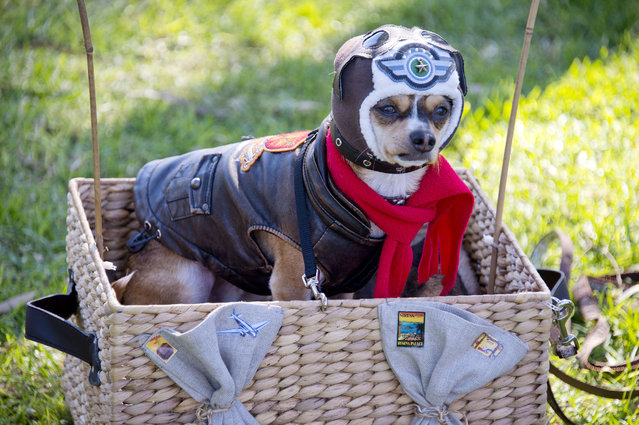 A chihuahua is dressed as an aviator at a Halloween dog costume parade and contest in Long Beach, California, October 28, 2012. (Photo by Robyn Beck/AFP Pfoto)
