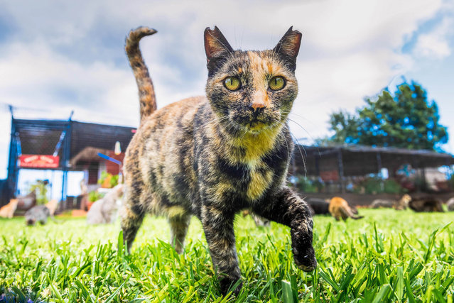 "This Hawaiian cat sanctuary has created an ""island paradise"" for the state's stray cats. Although most people would take a trip to one of the Hawaiian Islands' many heavenly sights, Andrew Marttila, 32, and his partner, Hannah Shaw, 30, wanted to visit something more unusual. They decided to take a trip to the Lanai Cat Sanctuary. The island of Lanai is tiny: The population hovers around a little over 3,000 people, mostly staffing the island's Four Seasons resort. However amid the Hawaiian island's turquoise waters and endless green foliage, hundreds of cats live in their own secluded paradise at the ""Fur Seasons"", a sprawling sanctuary for the island's feral cats. The Lanai Cat Sanctuary is home to some 500 furry felines, who roam and play on 25,000 square feet of land on one of the most remote islands in the United States. The ""cat paradise"" was created in 2009 to rescue the island's cats that were being hunted due to overpopulation. It now opens its doors to thousands of cat lovers a year, some of whom travel to the island just to visit the ""Hawaiian Lions"", as they are lovingly known. Lanai became overpopulated with cats after the animals were first brought to Hawaii more than a century ago on whaling boats. Strays were crawling all over the island, begging for food from residents and tourists. Viewing them as pests, residents took to trapping and killing the cats. So a volunteer program was started to catch the feral felines, neuter them, and release them back to the wild. But when it was discovered the cats were also endangering the native 'Ua'u birds, a shelter was created to rescue the island's cats and protect its birds at the same time. Upon entering the eternally sunny sanctuary visitors will hear happy mews as they become the center of attention for a few Lanai kitties looking for love. Each of the cats is also available for adoption. The site lies on a plot of land with fresh running water but not much else. There is no electricity or plumbing. The sanctuary runs entirely off of donations from tourists, money the organization has been trying to put toward expanding the sanctuary and establishing a medical system for the feline residents. Lanai is so small and remote, there are few if any veterinarians on the island. Here: An inquisitive cat comes to say hello at the shade at the Lanai Cat Sanctuary in Hawaii. (Photo by Andrew Marttila/Caters News Agency)"