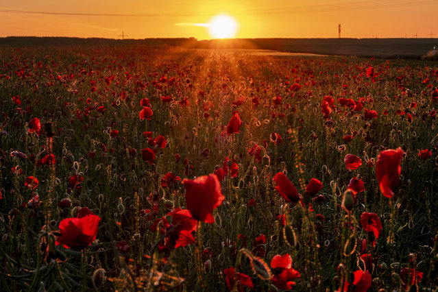 A field of poppy flowers are in full blossom as the sun rises in Frankfurt, Germany, early Friday, May 29, 2020. (Photo by Michael Probst/AP Photo)