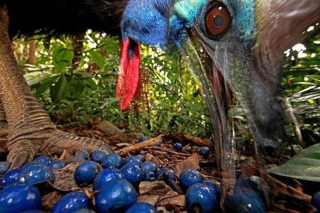 In this photo provided on Friday February 15, 2013 by World Press Photo, the 1st prize Nature Single by Christian Ziegler, Germany, shows the endangered Southern Cassowary feeds on the fruit of the Blue Quandang tree. Cassowaries are a keystone species in northern Australian rainforests because of their ability to carry so many big seeds such long distances, Black Mountain Road, Australia, November 16, 2012. (Photo by Christian Ziegler/AP Photo)
