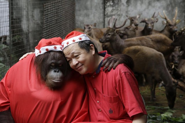 "An Orangutan named ""Pacquiao"" and zoo owner Manny Tangco, wearing Santa costumes, embrace in front of Brown Philippine Deer while giving school children a tour ahead of the next week's Christmas celebration Thursday, December 18, 2014 in suburban Malabon city, north of Manila, Philippines. The yearly treat is aimed at encouraging residents to be sensitive to the feelings of animals especially when exploding firecrackers for the raucous celebration. (Photo by Bullit Marquez/AP Photo)"