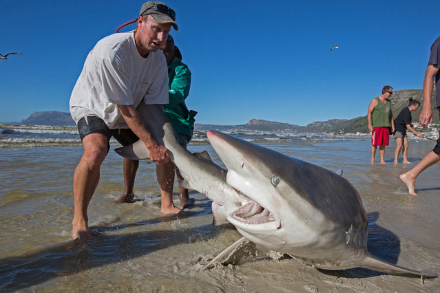 Bronze whaler shark (Carcharhinus brachyurus), caught in traditional seine net and released by fisherman, Muizenberg beach, Cape Town, South Africa on October 11, 2016. (Photo by Chris and Monique Fallows/NPL)