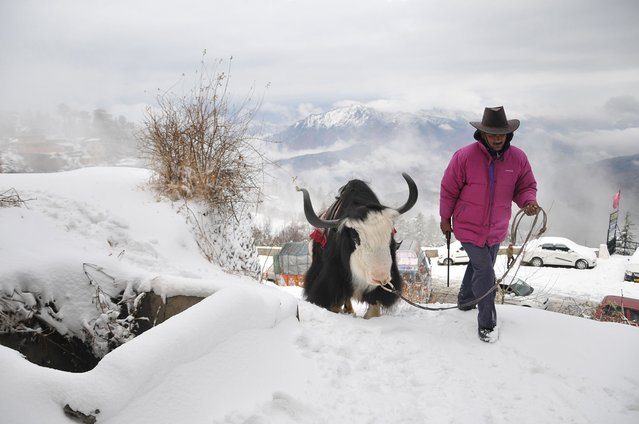 An Indian local walks with his yak on a snow-covered road during the season's first snowfall at Kufri, some 17 kms from the northern hill town of Shimla on December 13, 2014.  A cold wave over northern Himachal Pradesh state sent the night temperatures dipping below the freezing point. (Photo by AFP Photo)