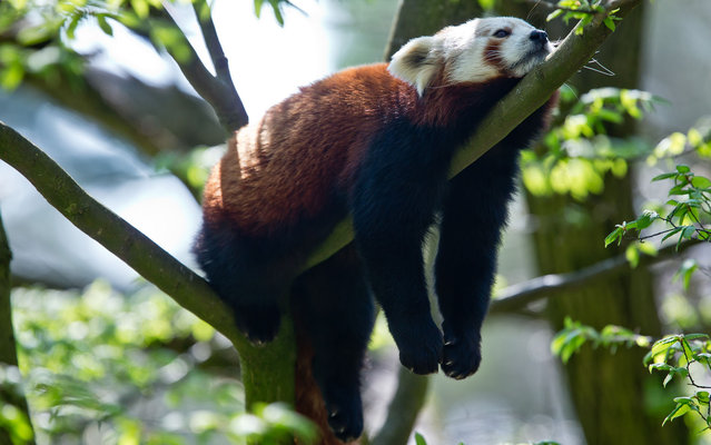 A red panda rests on a branch on April 25, 2013 at the Zoo in Nuremberg, Germany. (Photo by Daniel Karmann/AFP Photo)