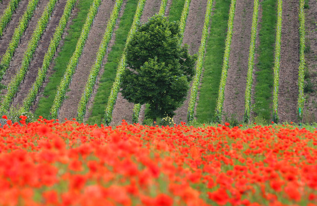 Poppies bloom on the steep vineyards near Escherndorf, Germany, 9 June 2016. (Photo by: Karl-Josef Hildenbrand/picture-alliance/DPA/AP Images)