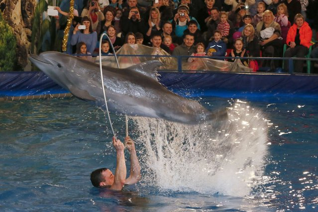 An Atlantic Bottlenose dolphin performs tricks with its trainer during a New Year's Dolphin Show in Russia's Siberian city of Krasnoyarsk, January 4, 2015. (Photo by Ilya Naymushin/Reuters)