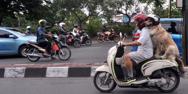 Indonesian dog lover Handoko Njotokusumo gets a lot of attention as he rides around the town, on January 12, 2015, Surabaya, Indonesia. (Photo by Jefta Images/Barcroft Media/ABACAPress)