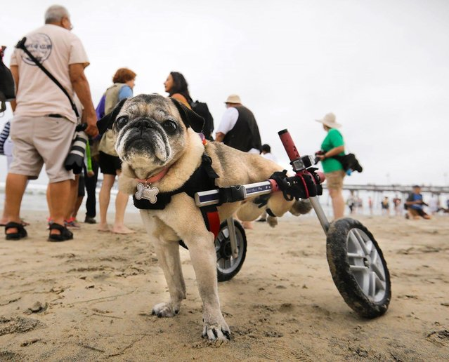 """""""Dotty"""", Ronnie Revoredo's pug of Mira Mesa came to the 2018 Imperial Beach Surf Dog Competition at the Imperial Beach Pier to root on her friends who competed in San Diego, California on July 28, 2018. (Photo by Howard Lipin/San Diego Union-Tribune via ZUMA Press/Rex Features/Shutterstock)"""