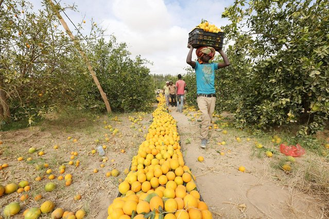 A worker carries a box of oranges during a harvest at a farm in Yemen's war-torn northern city of Marib, Yemen December 28, 2015. (Photo by Ali Owidha/Reuters)