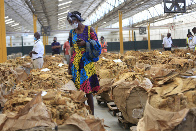 A farmer inspects tobacco leaves on the first day of the tobacco selling season of 2021 at the Tobacco Sales Floor in Harare, Zimbabwe, 07 April 2021. The selling season has begun under strict COVID-19 protocols with only a few farmers allowed to participate. Tobacco is the country's biggest foreign currency earner. (Photo by Aaron Ufumeli/EPA/EFE)