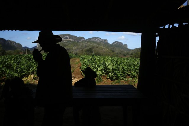 A farmer lights a cigar inside a curing barn at a plantation in valley of Vinales, in the western Cuban province of Pinar del Rio, January 26, 2015. (Photo by Pilar Olivares/Reuters)
