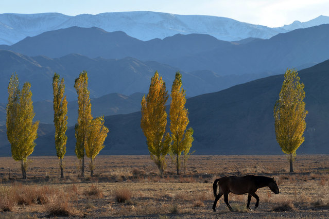 A horse grazes near the Issyk-Kul lake, some 300 km from the Kyrgyzstan's capital Bishkek on October 25, 2015. (Photo by Vyacheslav Oseledko/AFP Photo)