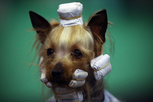 A Yorkshire Terrier is pictured on the fourth and final day of Crufts dog show at the National Exhibition Centre on March 8, 2015 in Birmingham, England.  First held in 1891, Crufts is said to be the largest show of its kind in the world. The annual four-day event, features thousands of dogs, with competitors travelling from countries across the globe to take part and vie for the coveted title of 'Best in Show'. (Carl Court/Getty Images)