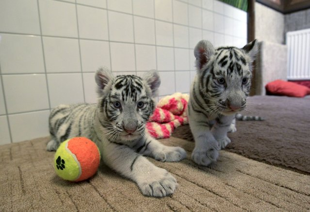 Two-month-old white bengal tiger cubs are pictured at Gyor Zoo in Gyor, west of Budapest, March 20, 2015. (Photo by Bernadett Szabo/Reuters)