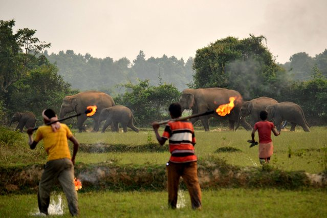 These heartbreaking photo show a confused family of elephants attempting to navigate a railway line built straight through their habitat on October 16, 2012. Taken by Biplab Hazra in Bishnupur, India, the images show the extreme lengths the inhabitants of the town go to to deter elephants from damaging their crops and property. As the images show, villagers often resort to extreme tactics in an effort to drive the elephants out  with one shocking photograph revealing firebombs being launched at a mother and calf as they cross the road. Elephants encroaching out of their habitats is an increasingly common occurrence with deforestation in much of India. (Photo by Biplab Hazra/Caters News Agency)