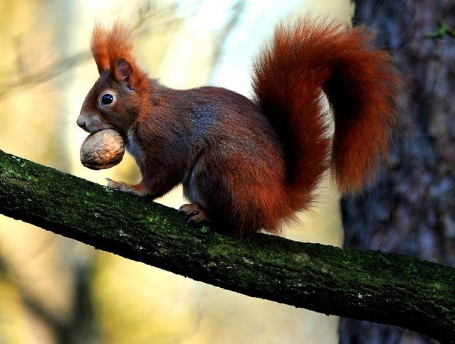 A squirrel with a walnut in its mouth sits on the branch of a tree in Sottrum, Germany, on January 12, 2014. (Photo by Ingo Wagner/DPA)