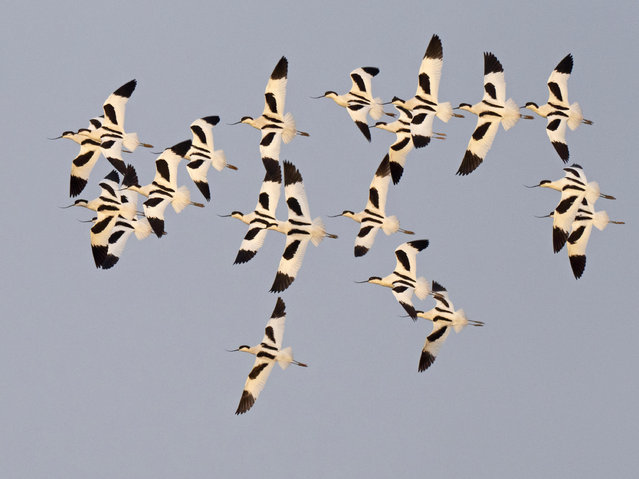 A flock of avocets wheel over the scrape at Cley Norfolk Wildlife Trust reserve in Norfolk. (Photo by David Tipling Photo Library/Alamy Live News)