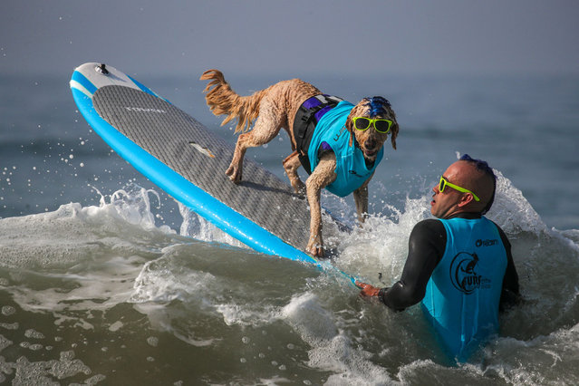 Derby, a 9-year-old Golden Doodle, and Kentucky Gallahue, 41, wait for a good wave to launch during annual Surf City Surf Dog competition held at dog beach on Saturday, September 25, 2021 in Huntington Beach, CA. (Photo by Irfan Khan/Los Angeles Times/Rex Features/Shutterstock)