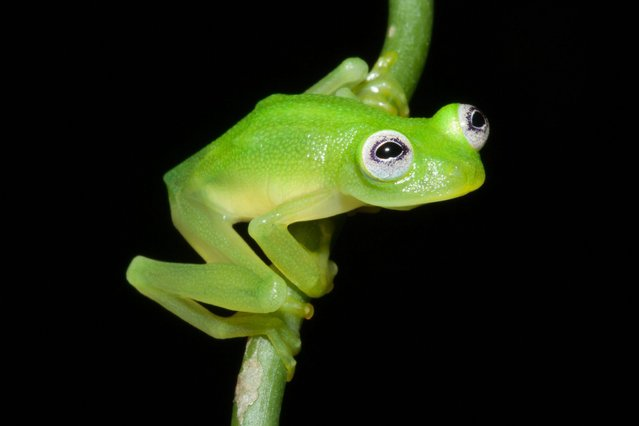 """A handout photograph provided by Brian Kubicki of Costa Rican Amphibian Research Center on 26 April 2016 shows a """"Crystal frog"""", Hyalinobatrachium dianae (H. diane). (Photo by Brian Kubicki/EPA/Costa Rican Amphibian Research Center)"""