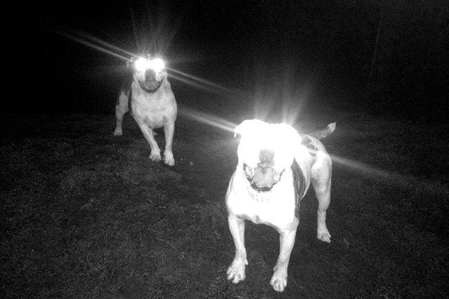 """Australien Bulldogs"". (Photo by Andrea Zubani)"