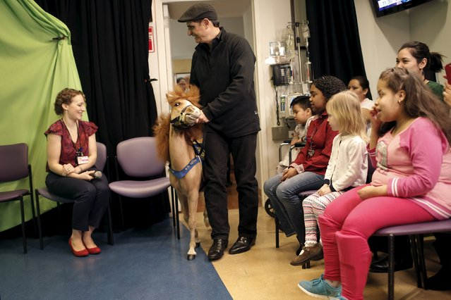 Handler Jorge Garcia-Bengochea walks with Honor, a miniature therapy horse from Gentle Carousel Miniature Therapy Horses, as they visit with patients at the Kravis Children's Hospital at Mount Sinai in the Manhattan borough of New York City, March 16, 2016. (Photo by Mike Segar/Reuters)