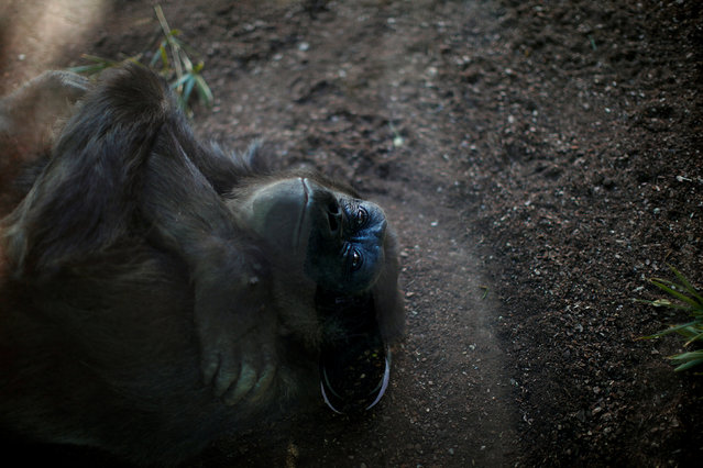 The leg of a man is seen reflected on a protection glass while Kim, a 48 year old female coast gorilla (Gorilla gorilla gorilla), embraces herself as she rests on the floor in her enclosure at Bioparc Fuengirola in Fuengirola, near Malaga, southern Spain, February 8, 2017. (Photo by Jon Nazca/Reuters)