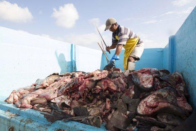 Fisherman cut shark meat on a truck at the beach of Manta, Ecuador May 19, 2015. (Photo by Guillermo Granja/Reuters)
