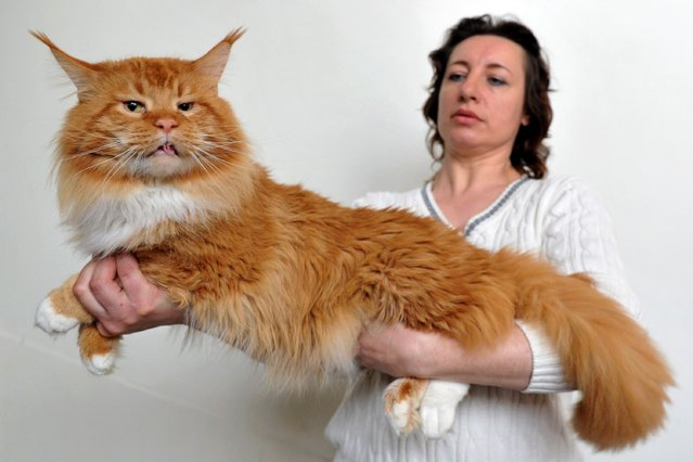 A woman and her Maine Coon cat pose during a cat exhibition in Bishkek on March 23, 2013. Cat lovers from Kyrgyzstan, Kazakhstan and Uzbekistan took part in the exhibition. (Photo by Vyacheslav Oseledko/AFP Photo)