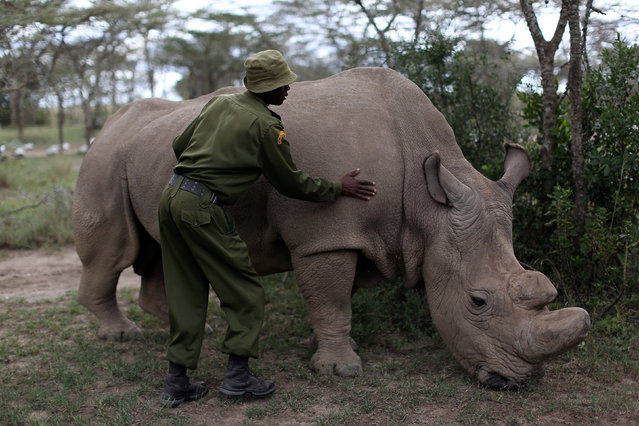 A wildlife ranger strokes a northern white rhino, only three of its kind left in the world, ahead of the Giant Club Summit of African leaders and others on tackling poaching of elephants and rhinos, Ol Pejeta conservancy near the town of Nanyuki, Laikipia County, Kenya, April 28, 2016. (Photo by Siegfried Modola/Reuters)