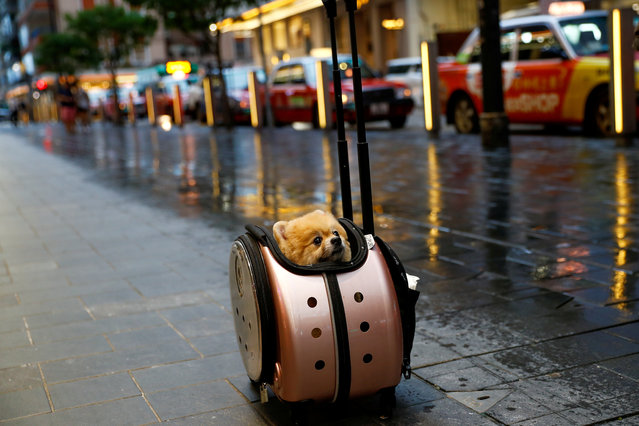 A Pomeranian dog sits in a rolling pet carrier in Hong Kong, China on September 4, 2019. (Photo by Kai Pfaffenbach/Reuters)
