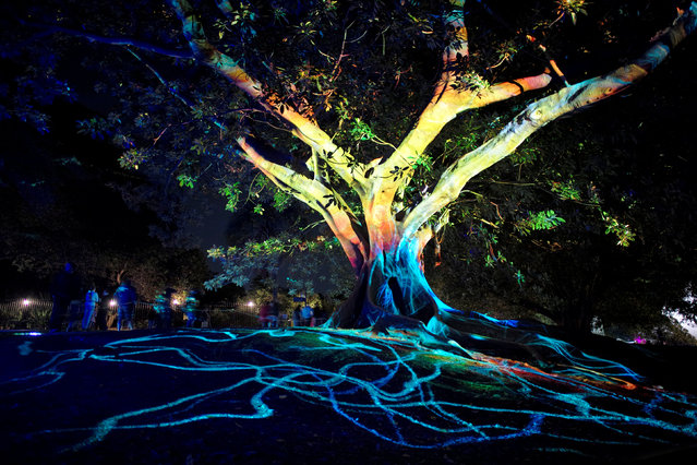 Lights are projected onto a tree in Sydney's Botanical Gardens during the opening night of the annual Vivid Sydney light festival in Sydney, Australia May 27, 2016. (Photo by Jason Reed/Reuters)