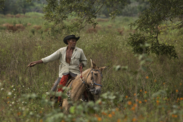 In this May 17, 2017 photo, cowboy Joao Aquino Pereira rides his horse in Corumba, in the Pantanal wetlands of Mato Grosso do Sul state, Brazil. Each day, the men and animals traverse about 11 miles from dawn until 3 p.m., in temperatures averaging about 90 degrees Fahrenheit during the day. (Photo by Eraldo Peres/AP Photo)