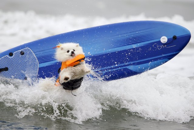 American Eskimo named Ziggy crashes on a wave during the small dog competition competes in the 10th annual Petco Unleashed surf dog contest at Imperial Beach, California August 1, 2015. (Photo by Mike Blake/Reuters)
