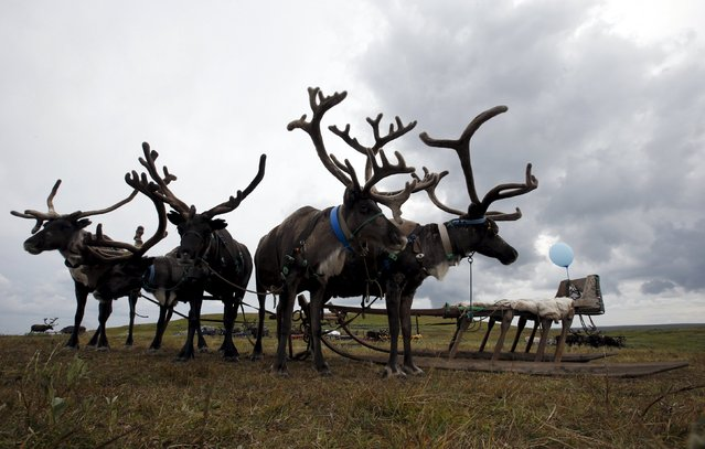 A view shows reindeer at a camping ground, some 200 km (124 miles) northeast of Naryan-Mar, the administrative centre of Nenets Autonomous Area, far northern Russia, August 2, 2015. (Photo by Sergei Karpukhin/Reuters)