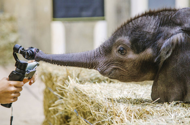 In this Friday, July 7, 2017 photo, a 4-week-old baby elephant inspects a camera after meeting the public for the first time at the Pittsburgh Zoo & PPG Aquarium in Pittsburgh. (Photo by Andrew Rush/Pittsburgh Post-Gazette via AP Photo)