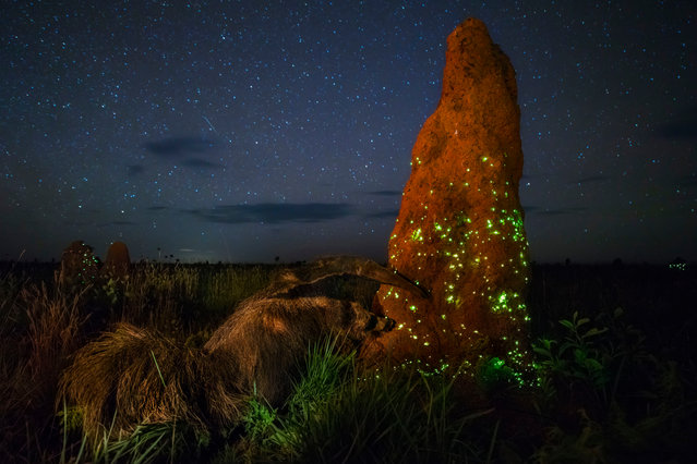 """Animals in Their Environment category. The Night Raider by Marcio Cabral, Brazil. For three seasons, Marcio had camped out in Brazil's Cerrado region, on the vast treeless savannah of Emas national park, waiting to capture the termite mounds' light display. Click beetle larvae living in the outer layers of the mounds flash their bioluminescent """"headlights"""" to lure in prey – the flying termites. Out of the darkness ambled a giant anteater, oblivious of Marcio in his hide, and began to attack the tall, concrete-mud mound with its powerful claws to reach the termites deep inside. (Photo by Marcio Cabral/Wildlife Photographer of the Year 2017)"""