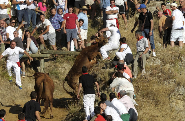 A cow tries to reach a man on a mound during the Pilon bull run in Falces, Navarra, Spain, 14 August 2016. Seven people were injured when a cow suddenly turned round and started running in the opposite direction. The Pilon bull run is a 800m race between cows and people who run through a tight and steep path down a mountain. (Photo by Villar Lopez/EPA)