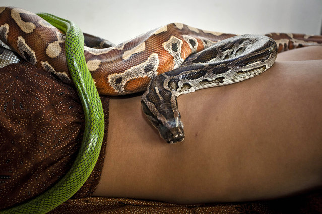 A member of staff demonstrates a massage using pythons at Bali Heritage Reflexology and Spa on October 27, 2013 in Jakarta, Indonesia. (Photo by Ulet Ifansasti/Getty Images)
